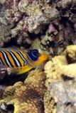 angelfish βασιλοπρεπής Στοκ εικόνες με δικαίωμα ελεύθερης χρήσης