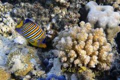 angelfish βασιλικός Στοκ εικόνα με δικαίωμα ελεύθερης χρήσης