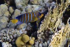angelfish βασιλικός Στοκ εικόνες με δικαίωμα ελεύθερης χρήσης