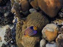 angelfish βασιλικός Στοκ Φωτογραφία