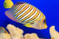 angelfish βασιλοπρεπής Στοκ Φωτογραφία