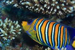 angelfish βασιλοπρεπής Στοκ εικόνα με δικαίωμα ελεύθερης χρήσης