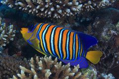 angelfish βασιλοπρεπής Στοκ Φωτογραφίες