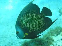 angelfish γαλλικά Στοκ Εικόνα