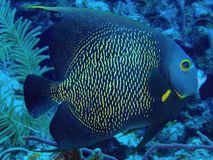angelfish γαλλικά Στοκ Φωτογραφία
