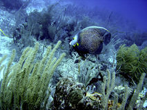 angelfish γαλλικά Στοκ Εικόνες
