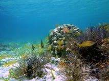 angelfish γαλλικό γρύλισμα ψαριών Στοκ εικόνες με δικαίωμα ελεύθερης χρήσης