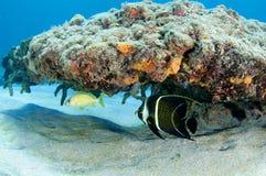 angelfish γαλλικό γρύλισμα Στοκ Εικόνες