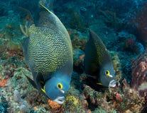 angelfish γαλλικό ζευγάρι Στοκ εικόνα με δικαίωμα ελεύθερης χρήσης