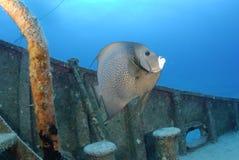 angelfish γκρίζος Στοκ εικόνα με δικαίωμα ελεύθερης χρήσης