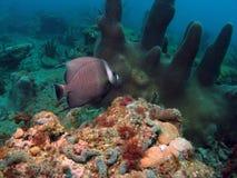 angelfish γκρίζος Στοκ φωτογραφία με δικαίωμα ελεύθερης χρήσης