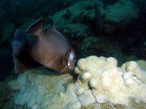 angelfish γκρίζος Στοκ Εικόνα
