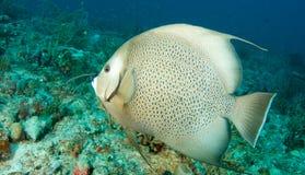 angelfish γκρίζος Στοκ εικόνες με δικαίωμα ελεύθερης χρήσης