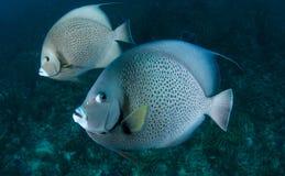angelfish γκρίζο ζευγάρι Στοκ Φωτογραφίες
