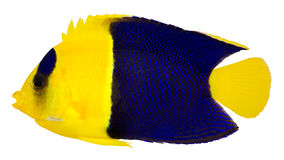 angelfish δίχρωμο χερουβείμ centropyge Στοκ Φωτογραφίες