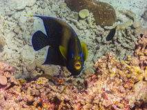 angelfish εξετάζοντας τη κάμερα Στοκ Εικόνες