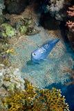angelfish Ερυθρά Θάλασσα pomacanthus maculosus Στοκ φωτογραφία με δικαίωμα ελεύθερης χρήσης