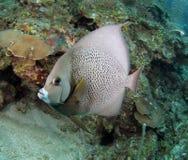 angelfish καραϊβική γαλλική Ονδ&omicro Στοκ εικόνες με δικαίωμα ελεύθερης χρήσης