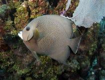 angelfish καραϊβική γαλλική Ονδ&omicro Στοκ Εικόνες