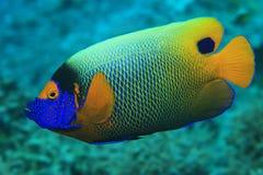 angelfish καλυμμένος υποβρύχιος ενυδρείων blueface Στοκ Φωτογραφίες