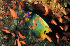 angelfish καλυμμένος υποβρύχιος ενυδρείων blueface Στοκ εικόνα με δικαίωμα ελεύθερης χρήσης