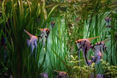 Angelfish κλιμακωτό στο ενυδρείο σε ένα υπόβαθρο των αλγών Όμορφα ζωηρόχρωμα τροπικά ψάρια Skalaria Στοκ εικόνες με δικαίωμα ελεύθερης χρήσης