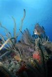 angelfish κοράλλι γκρίζο Στοκ Εικόνες