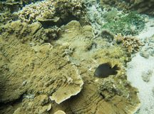 Angelfish: Μεγάλος σκόπελος αστρολάβων Στοκ Εικόνες