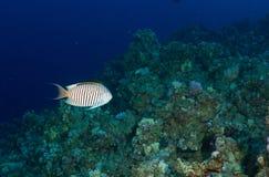 angelfish με ραβδώσεις Στοκ Εικόνες