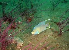 angelfish μπλε θάλασσα αγγουρ&iota Στοκ εικόνα με δικαίωμα ελεύθερης χρήσης
