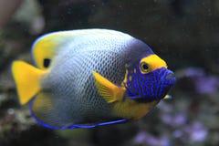 angelfish μπλε πρόσωπο Στοκ φωτογραφία με δικαίωμα ελεύθερης χρήσης