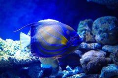 angelfish μπλε bluering πλάνο ανασκόπησης υποβρύχιο Στοκ εικόνα με δικαίωμα ελεύθερης χρήσης