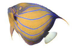 angelfish μπλε bluering πλάνο ανασκόπησης υποβρύχιο Στοκ φωτογραφίες με δικαίωμα ελεύθερης χρήσης