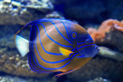 angelfish μπλε bluering πλάνο ανασκόπησης υποβρύχιο Στοκ Εικόνες