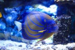 angelfish μπλε bluering πλάνο ανασκόπησης υποβρύχιο Στοκ φωτογραφία με δικαίωμα ελεύθερης χρήσης