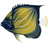 angelfish μπλε ringed μικρός ουράνιων τόξων ψαριών Στοκ φωτογραφία με δικαίωμα ελεύθερης χρήσης