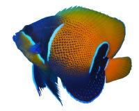 Angelfish που απομονώνεται μεγαλοπρεπές Στοκ εικόνες με δικαίωμα ελεύθερης χρήσης