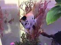 Angelfish που κολυμπά στο ενυδρείο Στοκ εικόνες με δικαίωμα ελεύθερης χρήσης
