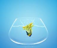 Angelfish που πηδά σε άλλο κύπελλο Στοκ φωτογραφία με δικαίωμα ελεύθερης χρήσης