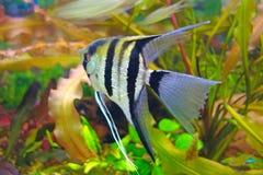 Angelfish σε ένα ενυδρείο Στοκ Εικόνα