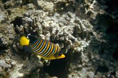 Angelfish στη Ερυθρά Θάλασσα Στοκ φωτογραφία με δικαίωμα ελεύθερης χρήσης