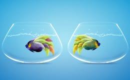 Angelfish στον τρόπο διαφοράς Στοκ Φωτογραφίες