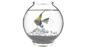 Angelfish στο μικρό fishbowl Στοκ Εικόνα