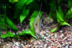 Angelfish στο τροπικό ενυδρείο Στοκ φωτογραφίες με δικαίωμα ελεύθερης χρήσης