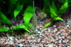 Angelfish στο τροπικό ενυδρείο Στοκ Φωτογραφίες