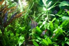 Angelfish στο τροπικό ενυδρείο Στοκ Εικόνες
