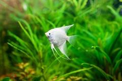 Angelfish στο φυσικό βιότοπό τους Scalare Στοκ Εικόνες