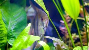 Angelfish στο φυτευμένο ενυδρείο Στοκ φωτογραφίες με δικαίωμα ελεύθερης χρήσης