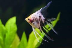angelfish τροπικός Στοκ Εικόνες