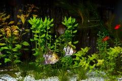angelfish ψάρια ενυδρείων pterophyllum scalare Στοκ Εικόνες